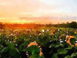 sunflower field kansas farms grinter farms sunflower field