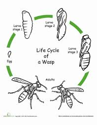 animal life cycle coloring pages education com