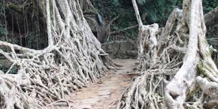 india u0027s incredible living root bridges