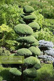 Topiary Cloud Trees - gap gardens ilex crenata clipped as cloud topiary image no