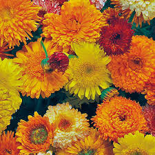 Calendula Flowers Department Flower Seeds Flowers Undefined