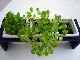 how to grow an indoor herb garden indoor plants expert