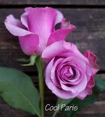 different color roses the lavender purple study flirty fleurs the florist