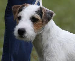 haircut ideas for long hair jack russell dogs parson russell terrier jack russell grand chion blue ridge s