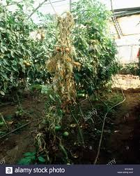 tomato plant disease stock photos u0026 tomato plant disease stock