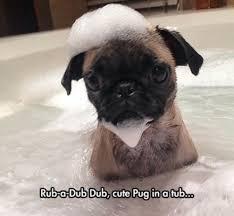Funny Pug Memes - funny pug memes funny pug pictures