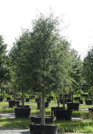 favorite trees for planting in houston houston tree surgeons
