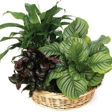 types of indoor foliage plants