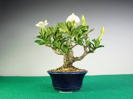 bonsai gardenia youtube