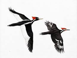 ivory billed woodpecker and pileated woodpecker tattoos