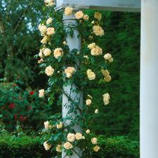 Fragrant Climbing Plants - gloire de dijon most fragrant climbing roses fragrant