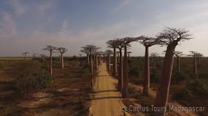 plants native to madagascar a 2mn video madagascar u0027s wonders the baobab avenue by cactus