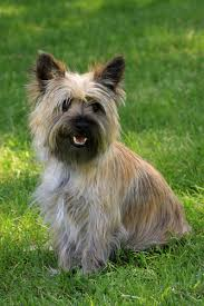 brindle cairn haircut cairn terrier grooming bathing and care espree animal products