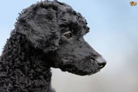 poodles long hair in winter the differences between dog hair and dog fur pets4homes
