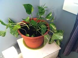 house plants that don t need light bathroom plants no light bathroom indoor plants indoor plants