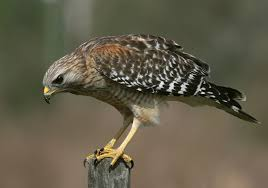 types of hawks different types of hawk facts