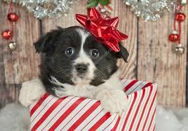 australian shepherd newfoundland cute newfoundland puppy u2014 stock photo jstaley401 90797504
