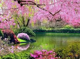 blossom trees 100 cherry blossom tree fruit fruit tree pink blossom