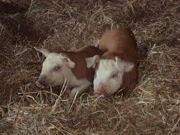 hereford pigs i want one of these sooooo bad barnyard babies