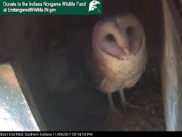 Where Does The Barn Owl Live Watch Baby Barn Owls Nesting In Southern Indiana Theindychannel