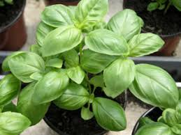 herbe cuisine le basilic est une herbe aromatique incontournable synonyme à lui