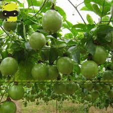 climbing fruits tree passion fruit seed 20 seed pack perennial