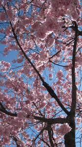 58 best cherry blossom images on pinterest cherry blossoms