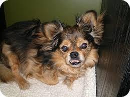 affenpinscher with underbite fester adopted dog kim u0027s foster apex nc pekingese