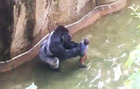 a 4 year boy falls into gorilla enclosure in cincinnati