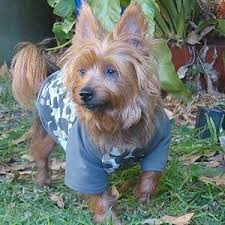 silky terrier with haircut silky and yorkie rescue ssrdogs org au