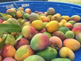 mad for mangoes savoring a backyard tradition hawaii public