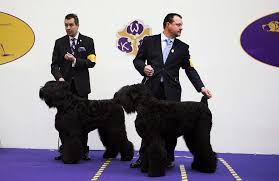 affenpinscher won westminster banana joe is best in show at westminster dog show u2039 clik hear