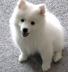 american eskimo dog a z american eskimo dog toy breed information and pictures on