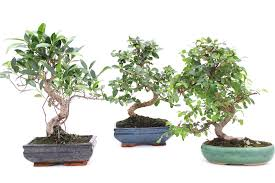 mini bonsai tree meaning home decor and design