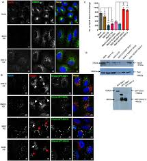 essential and selective role of snx12 in transport of endocytic