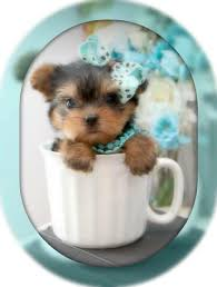 Seeking Teacup Teacup Yorkies For Sale Tea Cup Breeder Puppies Micro Tiny