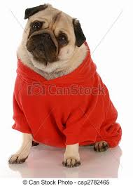 pug sweater fawn pug wearing sweater with reflection on white stock