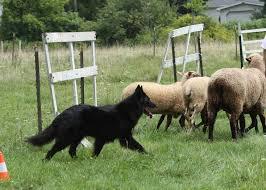 belgian sheepdog nationals photos belgian sheepdog club of america