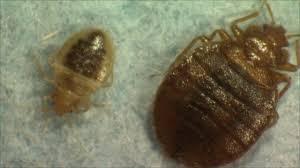 Bed Bugs New York City I Sleep With Bed Bugs For A Living U0027 Bbc News