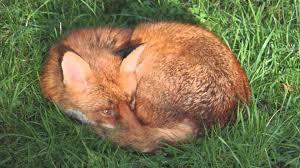 sleeping red fox wallpapers red fox sleeping in the garden youtube