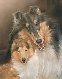 bearded collie mdr1 851 best must love collies images on pinterest rough collie