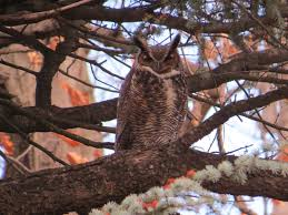 great horned owl backyard and beyond