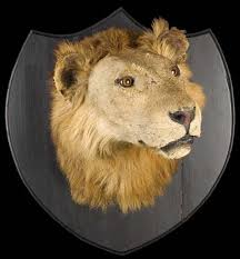 lion heads for sale edwardian taxidermy