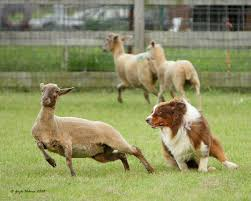 owning a australian shepherd australian shepherds know how to herd livestock and a good