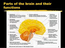 Part Of The Brain Stem That Is Involved In Arousal Nervous System