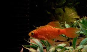 rosy barb fish aquarium recipeapart
