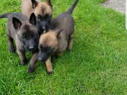 belgian shepherd for sale australia belgian shepherd dog dogs and puppies for sale in dudley pets4homes