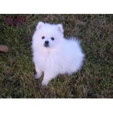 american eskimo dog michigan paulaspolar pups american eskimo dog breeder in fort nelson