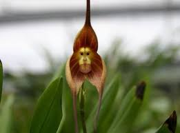 monkey orchid you wont believe this is real monkey orchid flower has a monkey