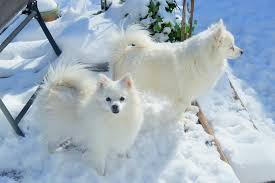 american eskimo dog washington state linda wisely u0027s happy american eskimos home facebook